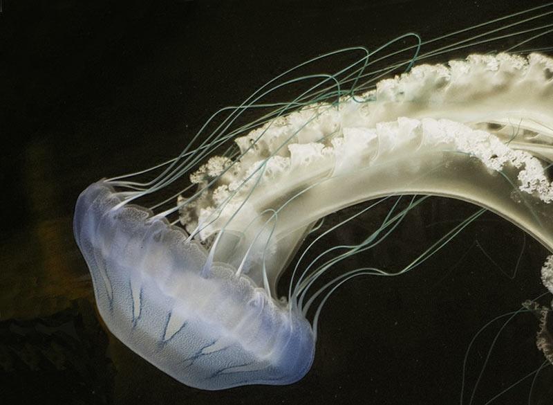 Polyps look like jellyfish